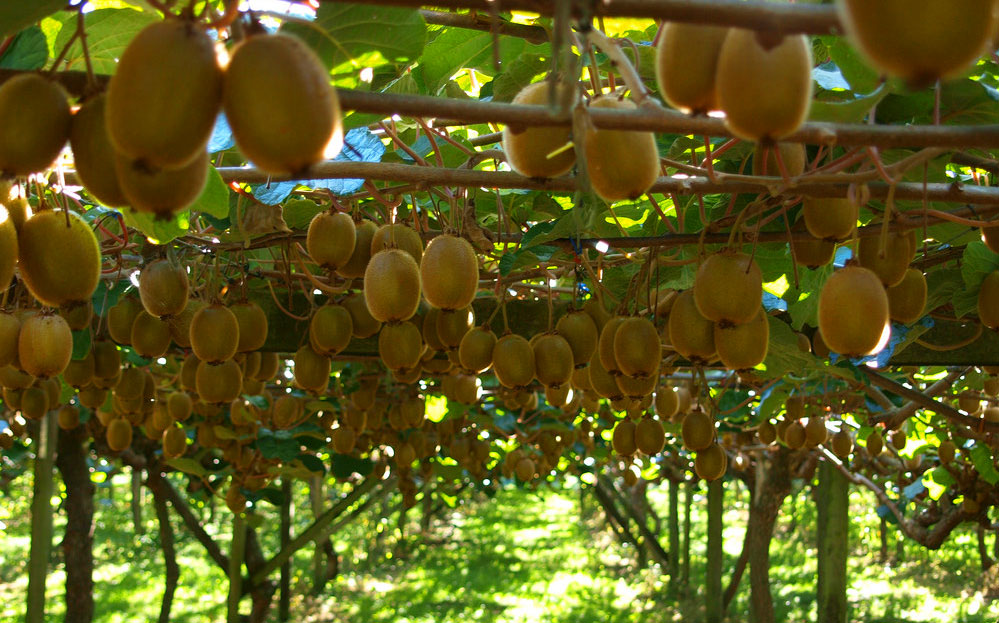 kiwifruit orchard